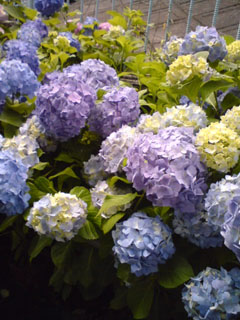 道端に咲いていた紫陽花
