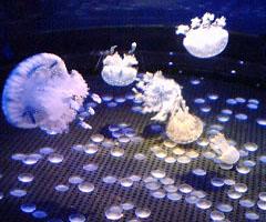 片瀬海岸の新江の島水族館で泳ぐクラゲたち